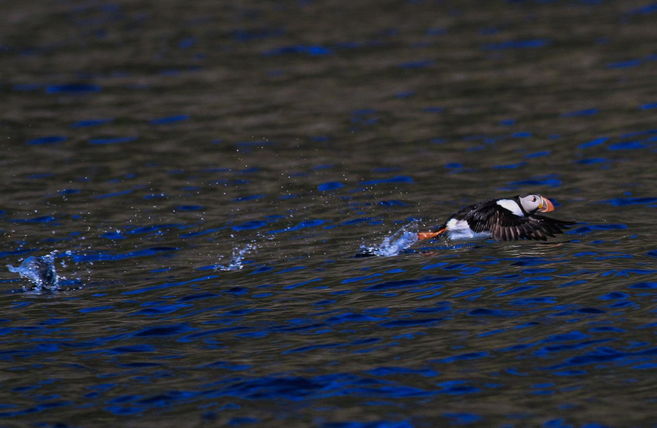 Lunnefågel - Runde Norge